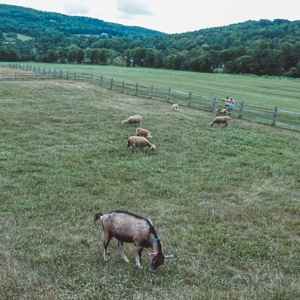 goats eating grass at Billings Farm Museum