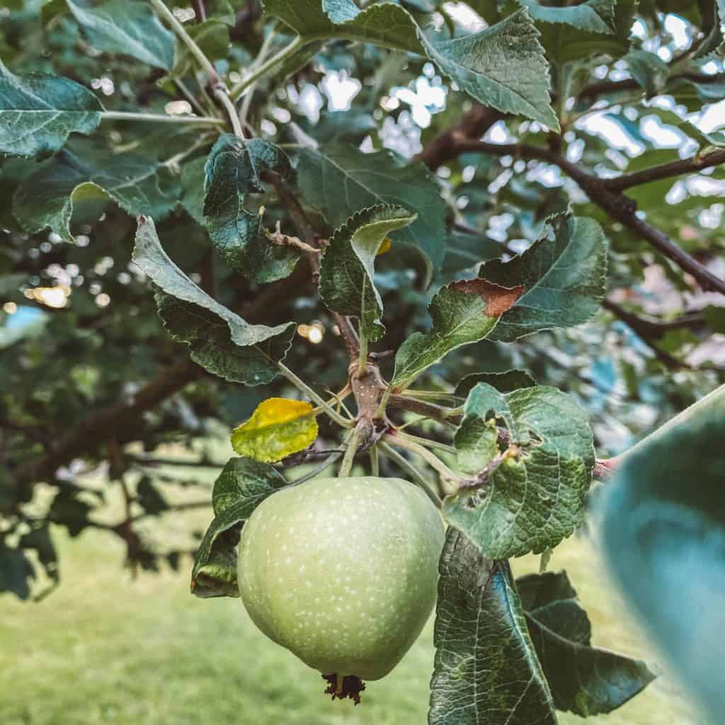green apple hanging on the tree