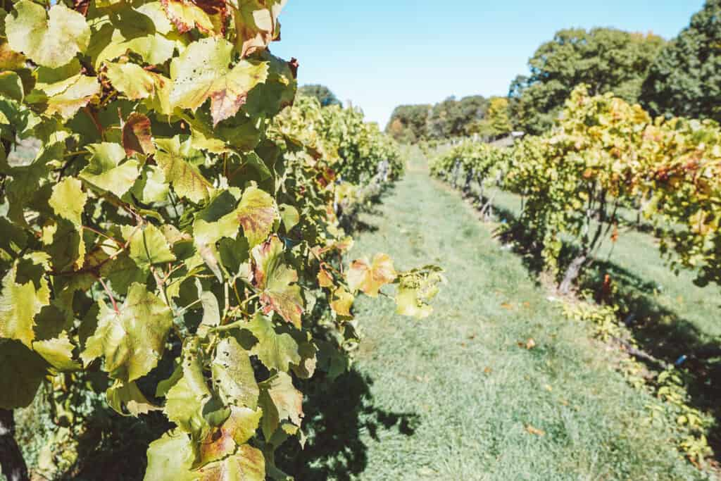 Benmarl vineyards