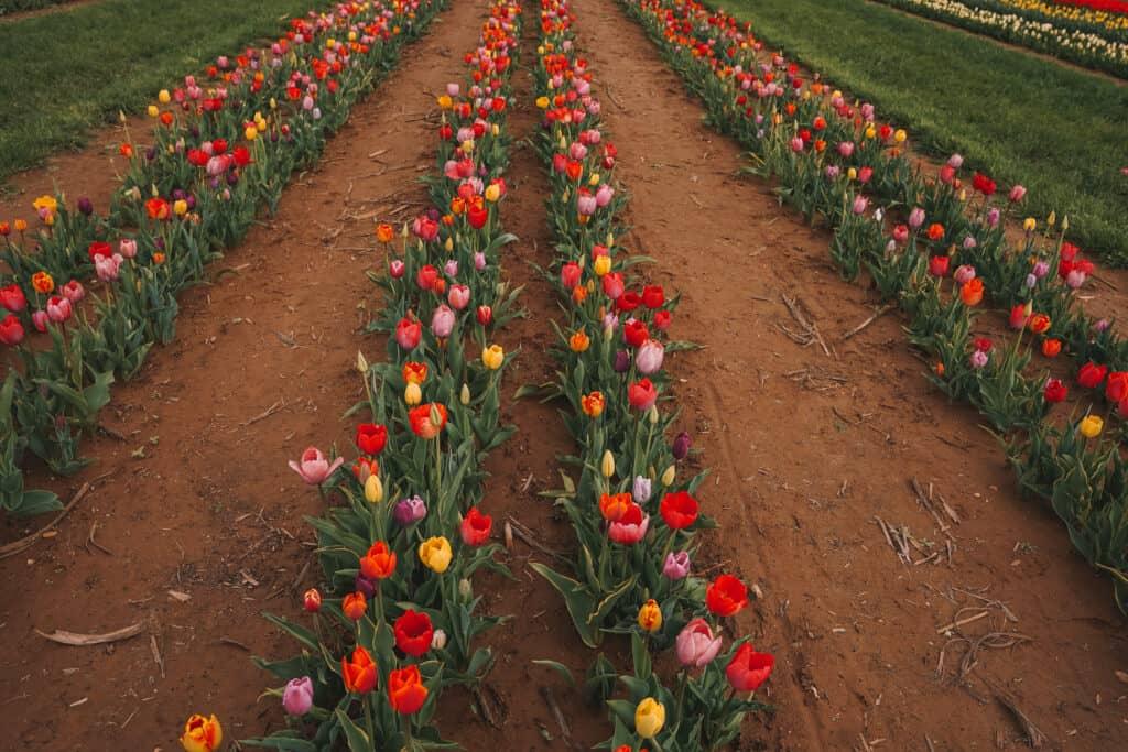 colorful tulip fields at Holland Ridge farms NJ