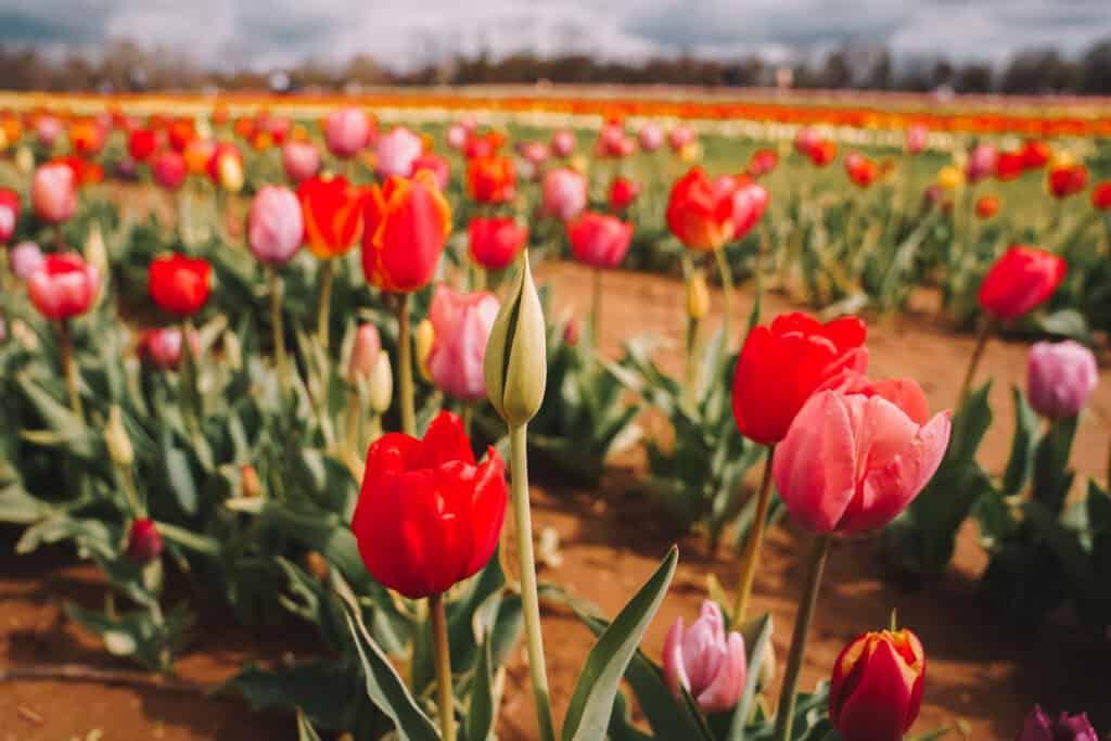 Red tulips at Holland Ridge Farms NJ