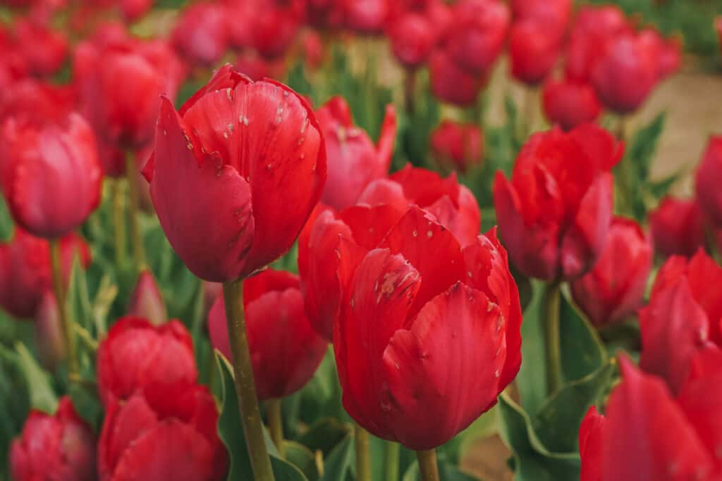 closeup of red tulips at the tulips farm NJ