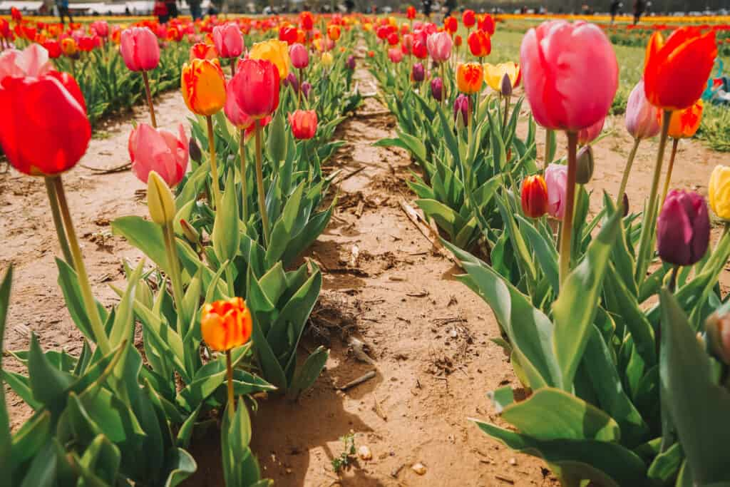 Pink and yellow tulips at the farm
