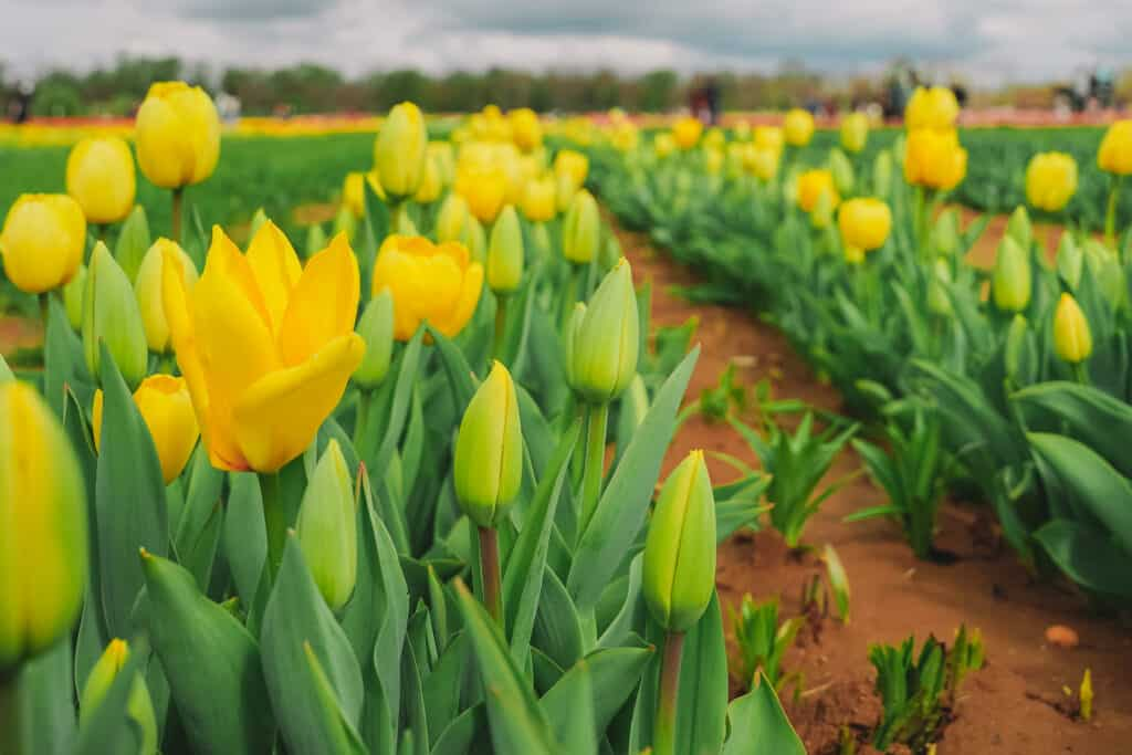 Yellow tulips at the farm